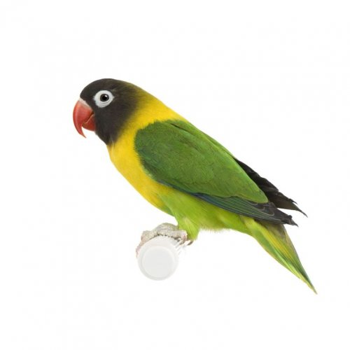Неразлучник - маленькі яскраві папуги